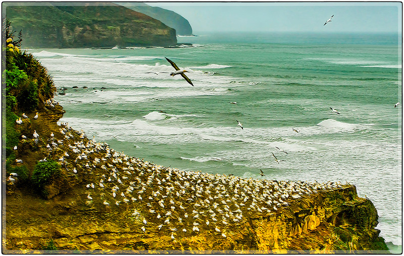 Colony of Australasian Gannets, North Island