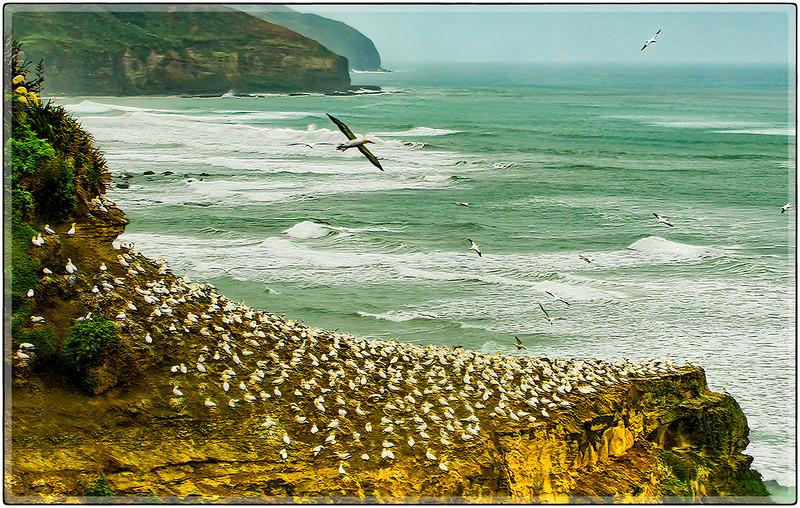 Colony of Australasian Gannets, North Island