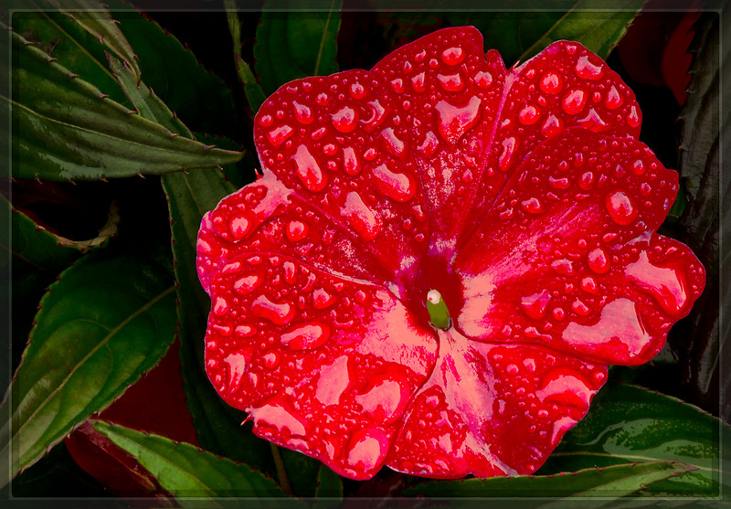 After The Rain, (Red African Impatien)