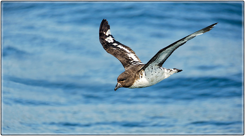 Cape Pigeon, South Pacific