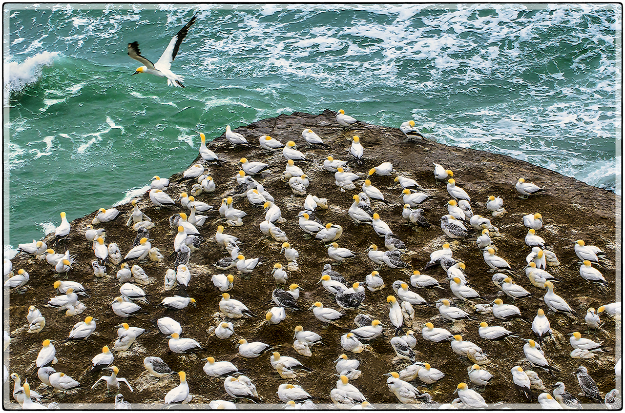 A Community of Gannets