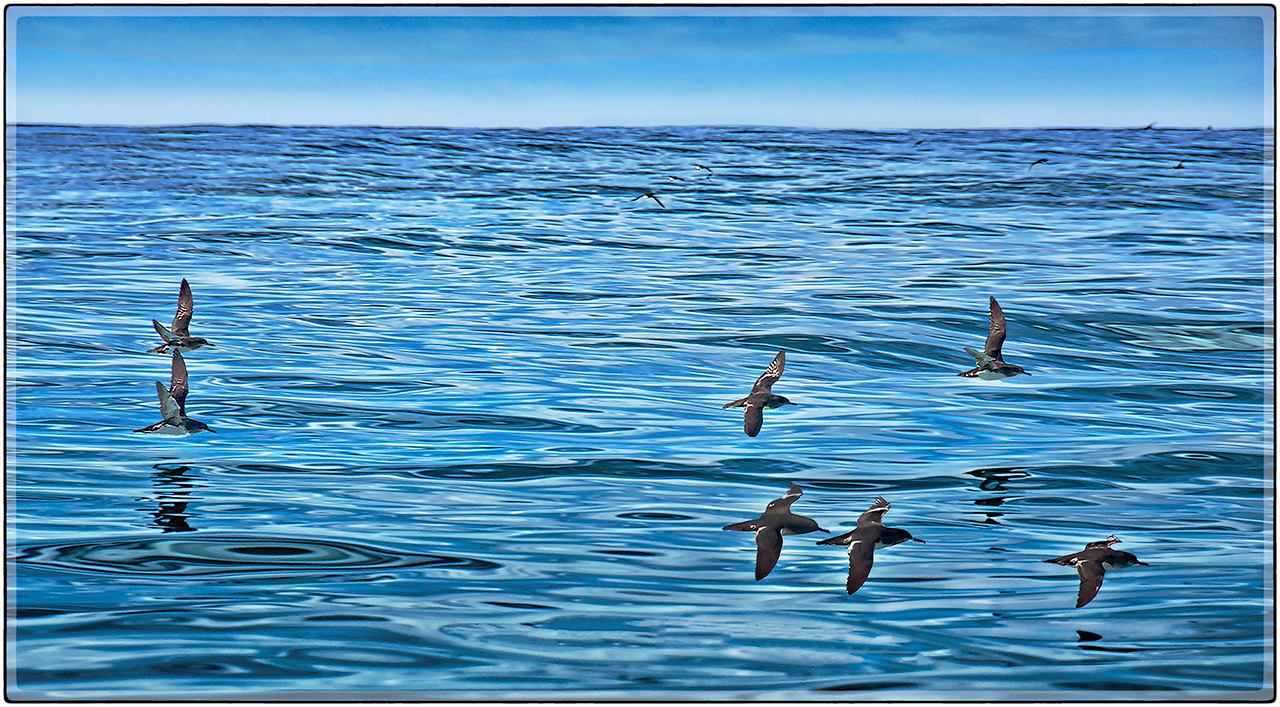 Hutton's Shearwater Birds of The South Pacific