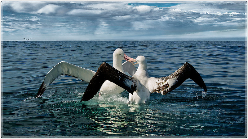 Albatross Encounter