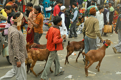Goats are being taken home, presumably by Muslims as a sacrifice and celebration at the end of Ead.
