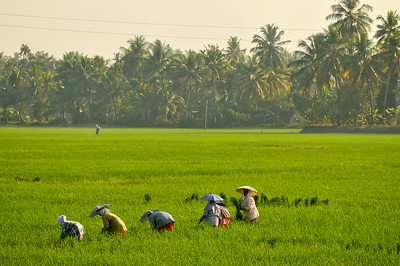 _DSC4117_rice_fields