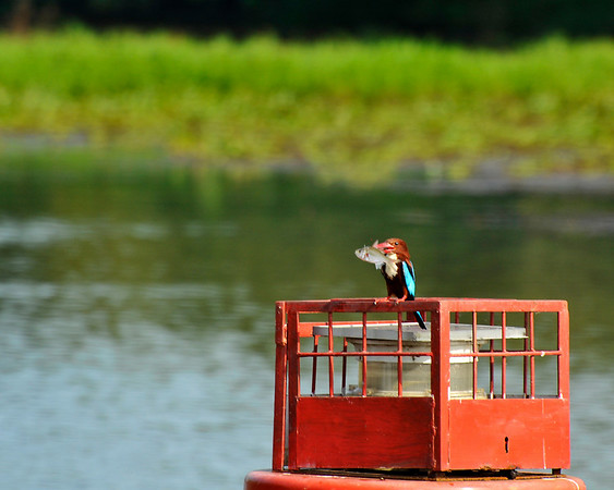 _DSC3988_kingfisher