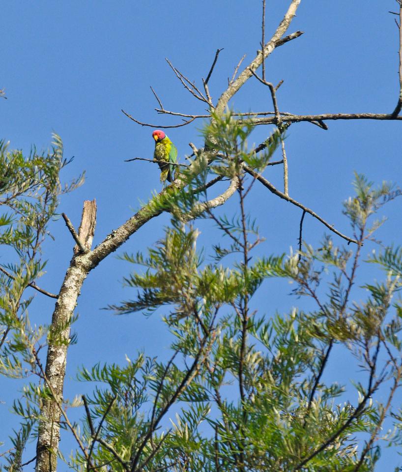 Blossom headed parakeet.