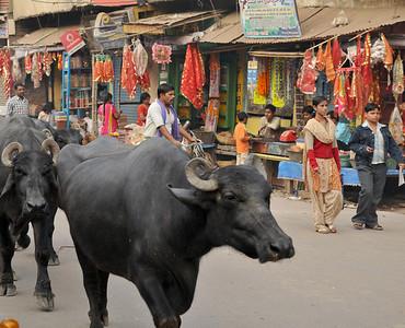 _DSC3350_bulls