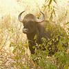 Indian Bison