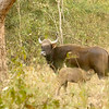 Indian Bison with calf