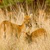 Swamp Deer females