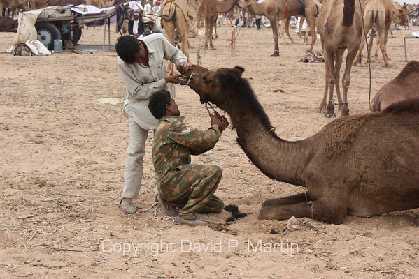"The camel ""barber."""