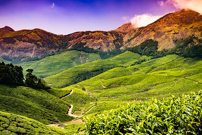 KERALA TEA FIELD