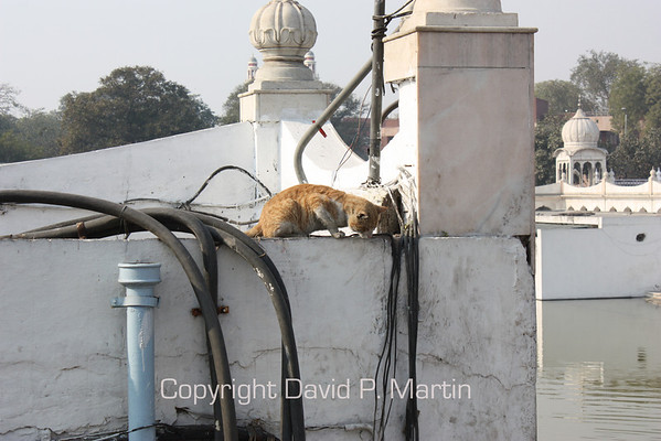 A cat at the Sikh temple.