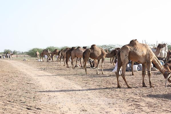 Camel parking.