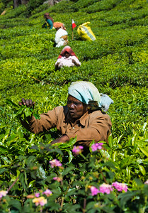 KERALA TEA FIELD WORKER