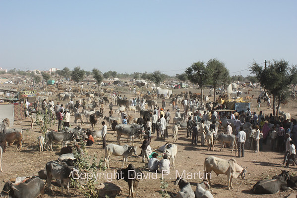 The Nagaur livestock fair.