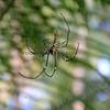 2913_06-04-15_Asu spider.JPG