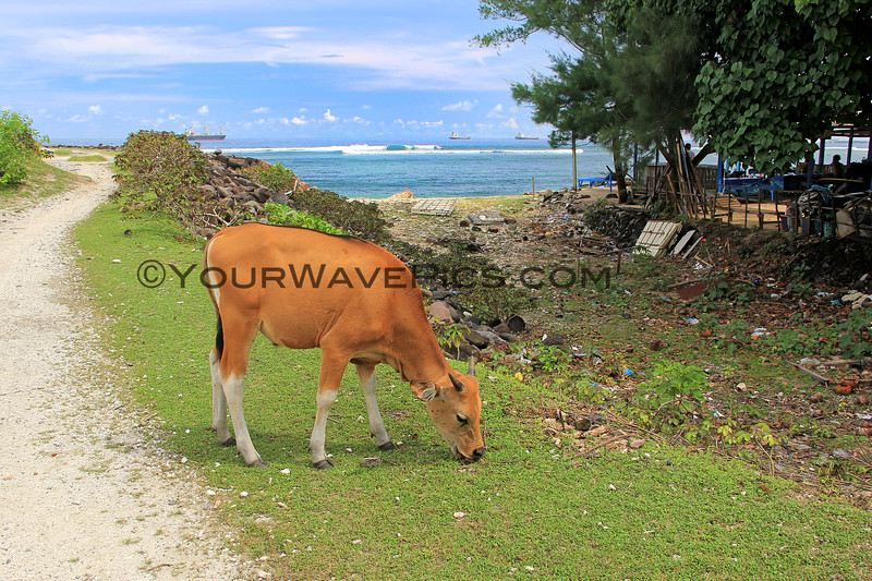 2018-02-24_Bali_449_Serangan_Cow.JPG
