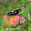 1170_05-20-15_Butterfly on lantana.JPG