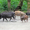2018-03-11_Pulau Asu_1158_Jungle trail_Pigs.JPG