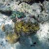 2018-03-09_Pulau Asu_1068G_Green and blue clams.JPG