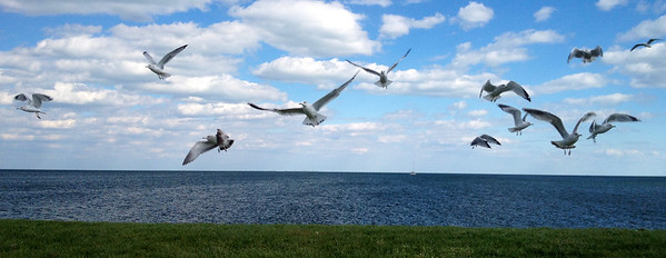 Seagulls over Lake St. Clair.