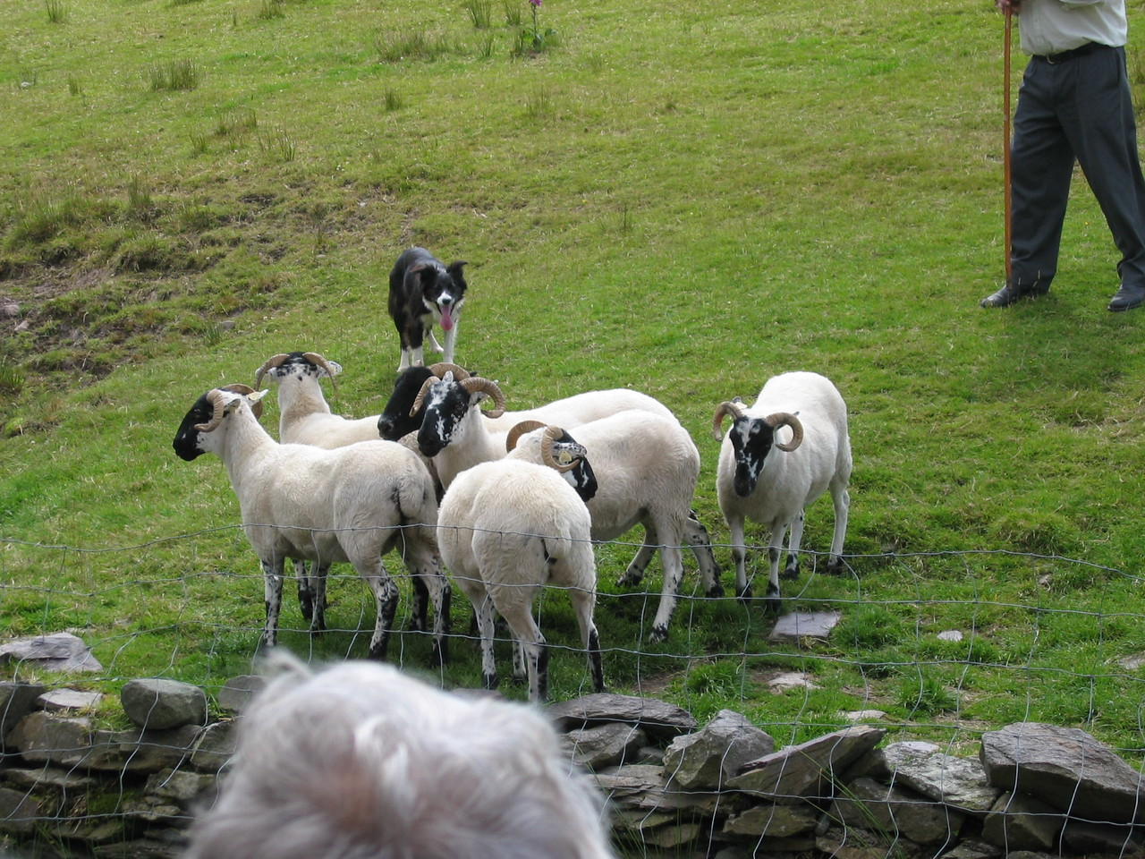 Shepherd working the sheep with his Boarder Collies