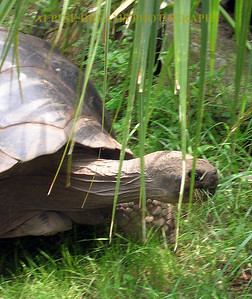 Giant Tortoise on the move.
