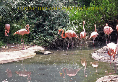 These Flamingo's are loud, bright and smelly but they appeared to be having fun by this pond.  No they are not plastic!