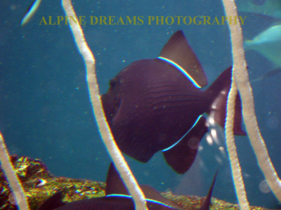 The exotic tropical fish are beautiful. These black fish with electric blue racing stripes are no exception.