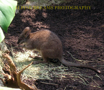 I am not sure what particular type of critter this is. Looks like  a dwarf Kangaroo or a very strange rodent.