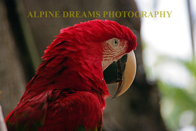 Definitely one of my favorite shots, this bright red parrot kept his eye on me whenever I got close. From his natural perch I was able to get this shot. I got some good detail on this and you can go quite large on the print if desired. Checkout the detail on his beak and eye.