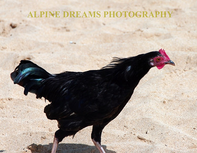 The wild chicken should be the national bird of Kauai. They roam all over and can be heard all times of the day. This wild chicken struts around poipu beach. The locals tell me the only thing that tastes worse than wild chicken is lava.