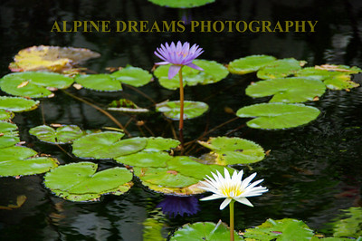 These water lily's were quite beautiful in a pond in Oahu.
