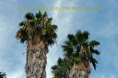 These Palm trees are pretty different than most I have seen.  They shoot skyward and it appears that as it grows the old leaves stay on and protect the trunk.