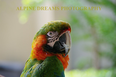 This huge Green Parrot was as brightly colored as he was LOUD. He was just sitting there in a tree talking his head off. This was shot high enough to go big if you wanted too.