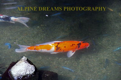 The bright COY fish along with his smaller blue friends were easy to spot in the crystal clear water.