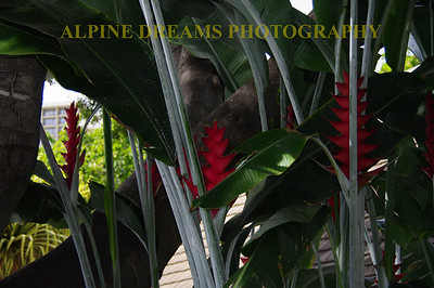 These hardy gray stalks with bright red flowers grew near the base of some giant Palms in Oahu.
