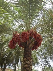 Date palm: Nizwa, Oman.