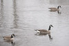 Three geese swimming.