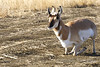 Pronghorn getting up from the afternoon nap