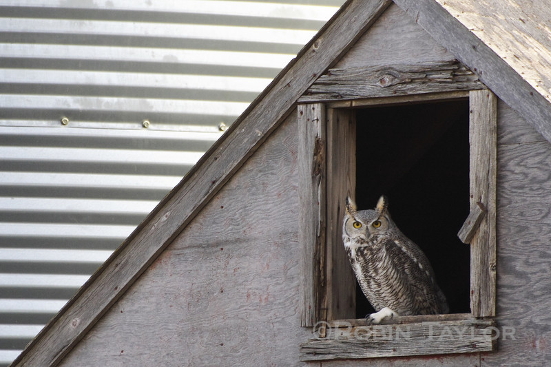 Great horned Owl inspecting the new arrivals
