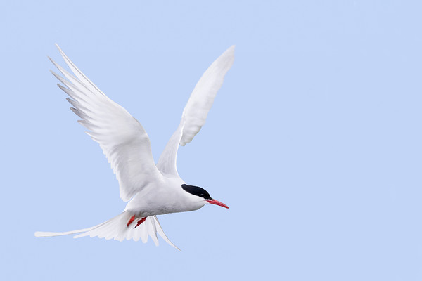 Artic Tern hovering