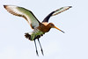 Bar-tailed Godwit landing