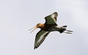 Squawking Bar-tailed Godwit in flight