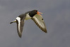Squawking eurasian oystercatcher in flight