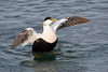 Flapping common eider