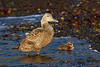 Common eider hen and chick