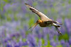 Bar-tailed Godwit landing among lupine